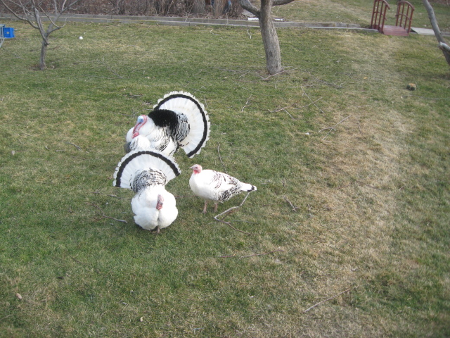 Henry is a farmboy at heart. He keeps turkeys in his huge back yard, and chickens, and two cats.