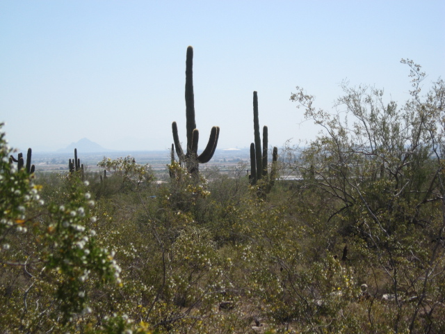 And so we say goodbye to the great saguaro forest of the White Tanks mountains.