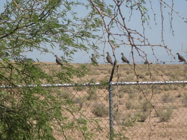 More birds. I believe these are desert doves, related to pigeons, but not as annoying.
